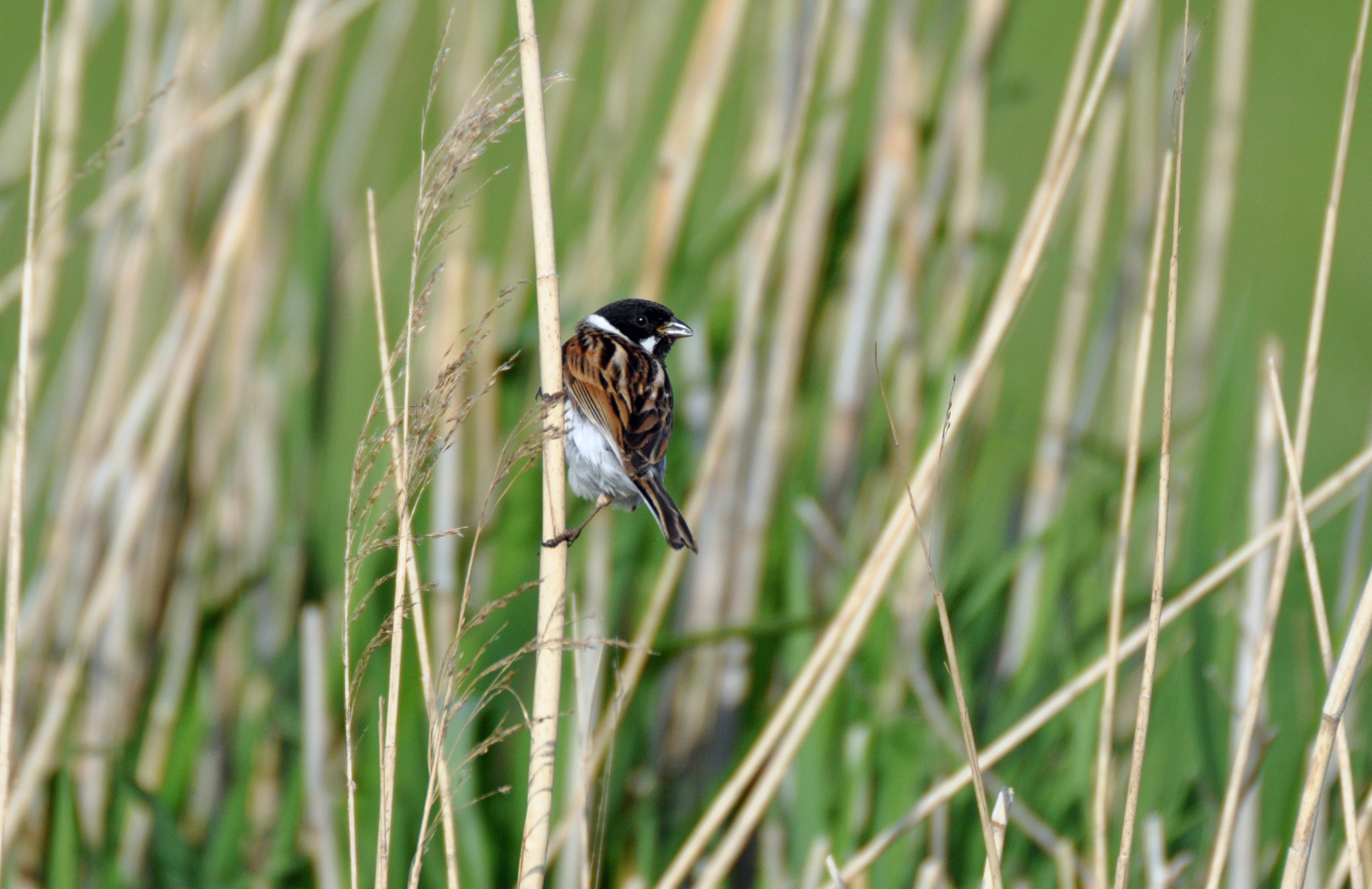 Reed Bunting Facts Information Gwct Big Farmland Bird Count